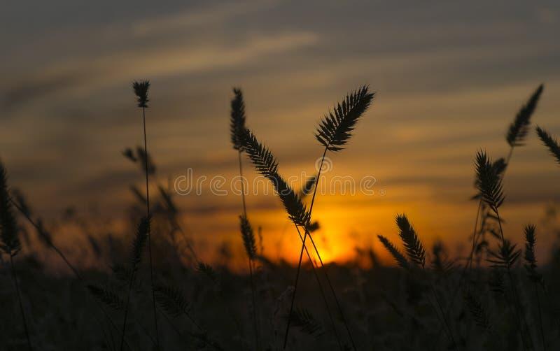 Oreilles de blé sur le coucher du soleil photo stock