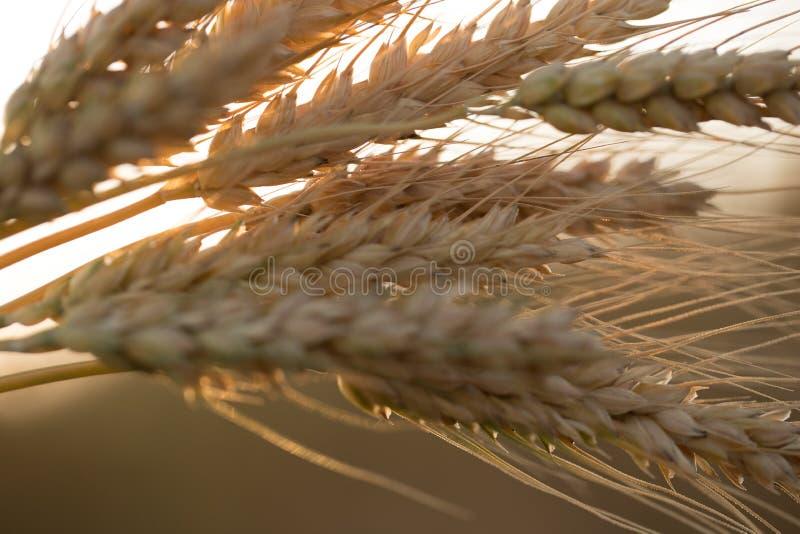 Oreilles de bl? au soleil photographie stock