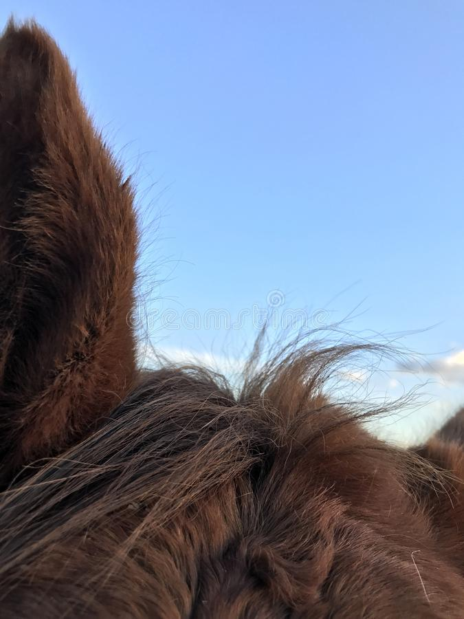 Oreilles de cheval photo libre de droits