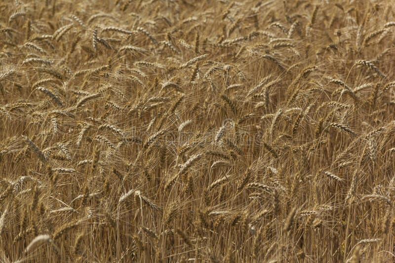 Oreilles de grain dans le domaine pendant l'été, fond naturel images libres de droits