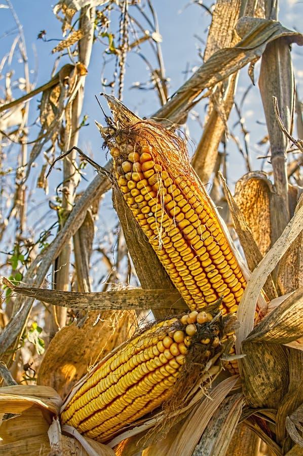 Oreilles de maïs de champ sur les tiges dans un domaine de ferme photo libre de droits