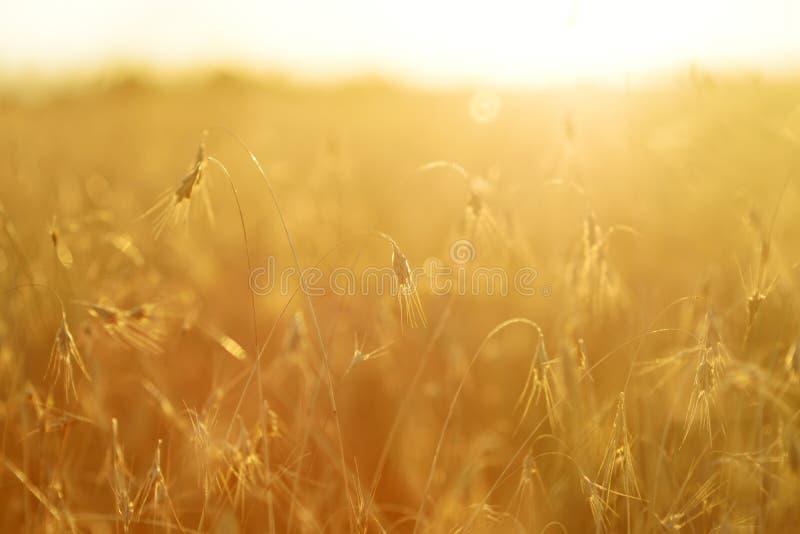 Oreilles de maturation de champ de blé jaune sur le coucher du soleil images libres de droits