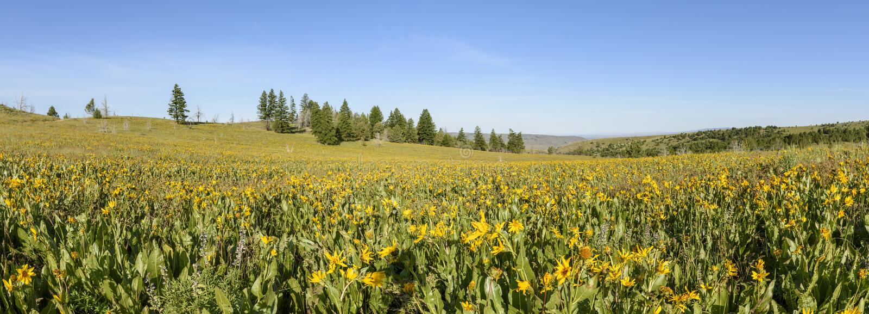 Oreilles de mules et coloration de loup les flancs de coteau de l'Idaho du sud-ouest et de l'Orégon du sud-est photographie stock