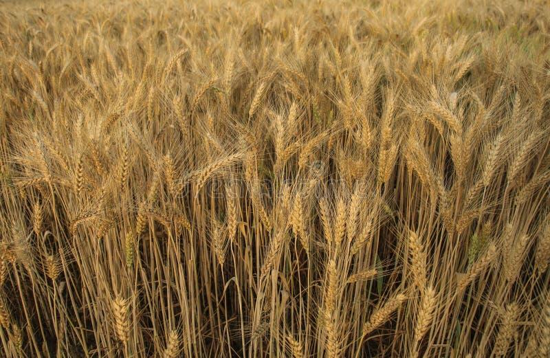 Oreilles de plan rapproché de blé photo libre de droits