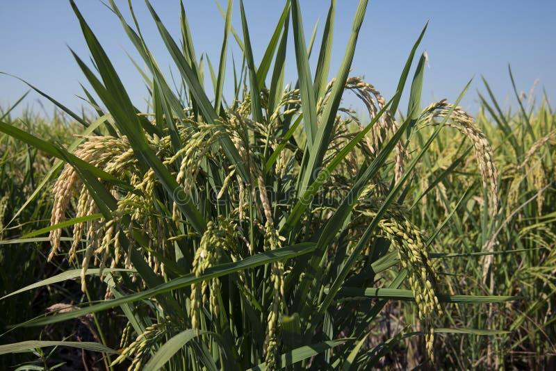Download Oreilles De Riz Dans La Rizière Image stock - Image du champs, herbe: 77150693