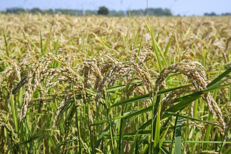 Download Oreilles De Riz Dans La Rizière Image stock - Image du lames, zone: 77154403
