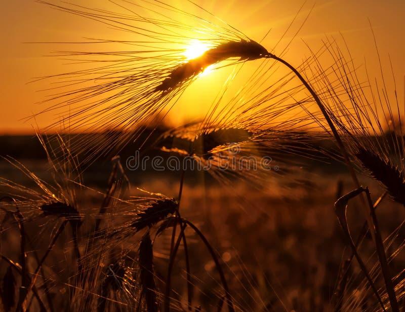 Oreilles de Rye au coucher du soleil photo stock