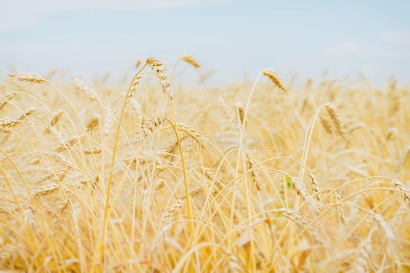 Oreilles jaunes de céréale dans un après-midi chaud et étouffant d'été contre un ciel bleu-clair sans nuages Fond rural photo stock
