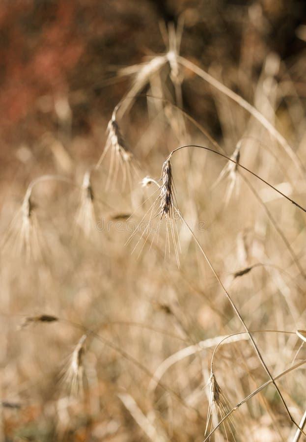 Oreilles mûres de blé dans la perspective du champ d'automne images stock
