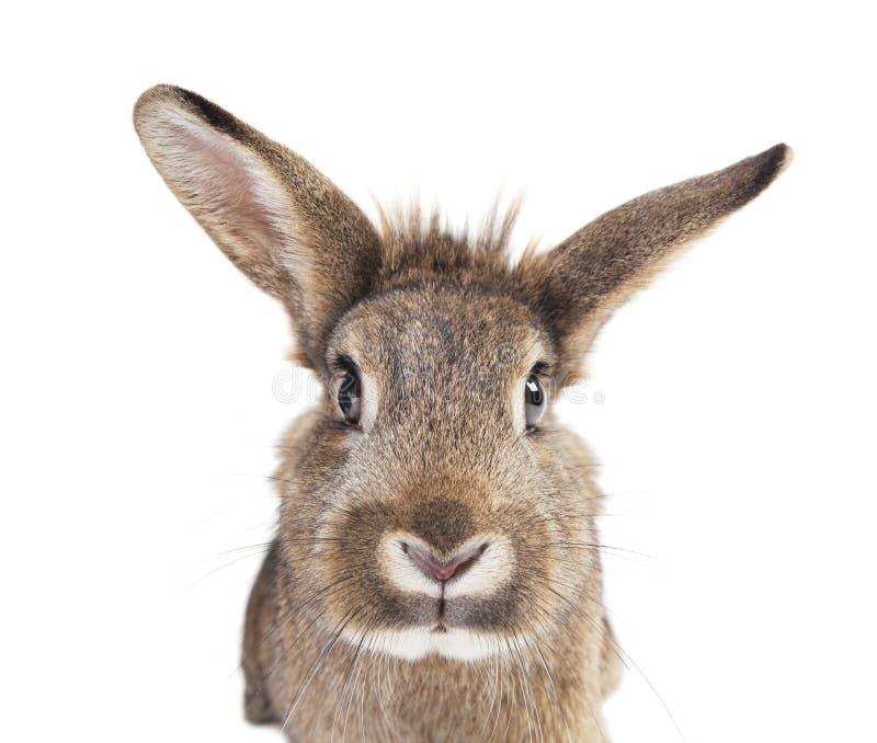 Oreilles principales de lapin d'isolement image stock