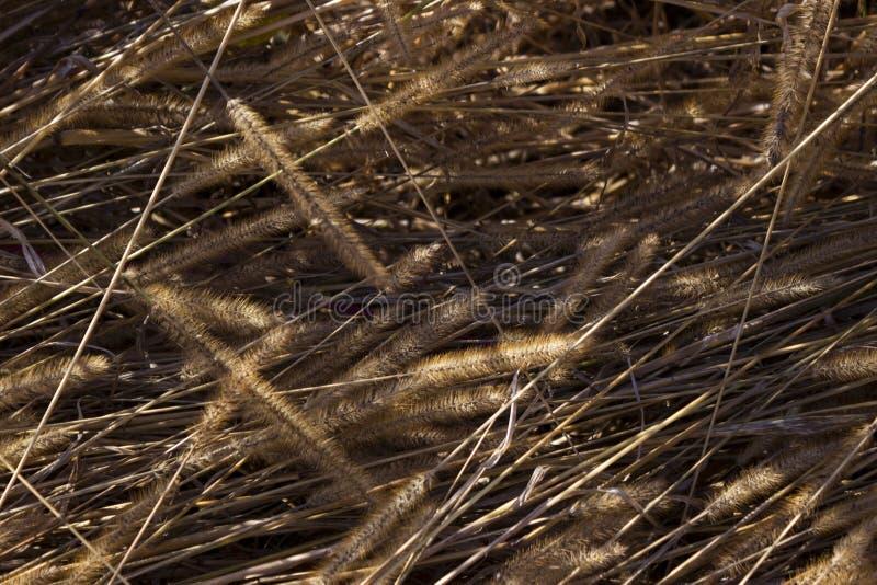 Oreilles sèches d'herbe dans le domaine, transitoires pelucheuses des mauvaises herbes, automne, image libre de droits