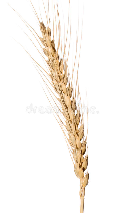 Orelha amarela do trigo isolada no fundo branco imagens de stock