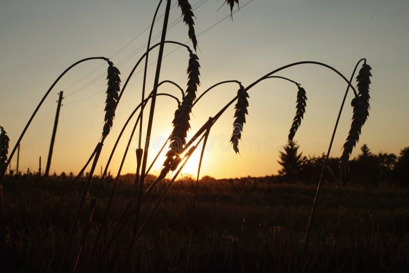 Orelha bonita do trigo no campo no por do sol, mamã calma morna do verão fotografia de stock royalty free