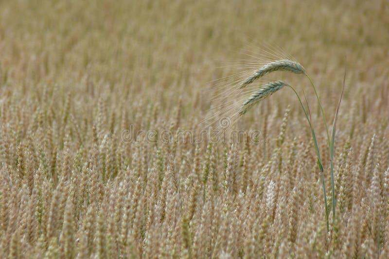 Orelha da aveia em um campo de trigo fotografia de stock