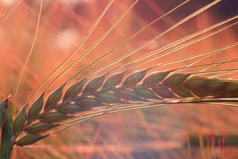 Orelha da cevada. Luz macia do por do sol. fotos de stock