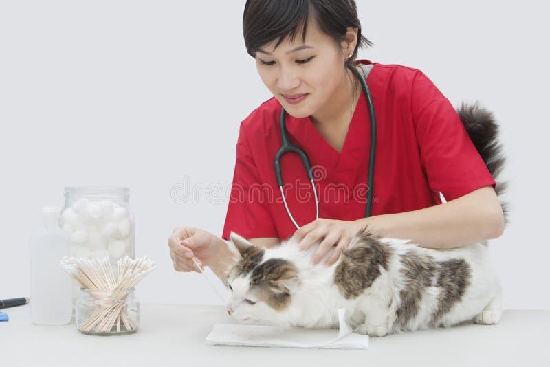 A orelha de gato veterinária fêmea asiática da limpeza com o cotonete de algodão contra o fundo cinzento fotografia de stock royalty free