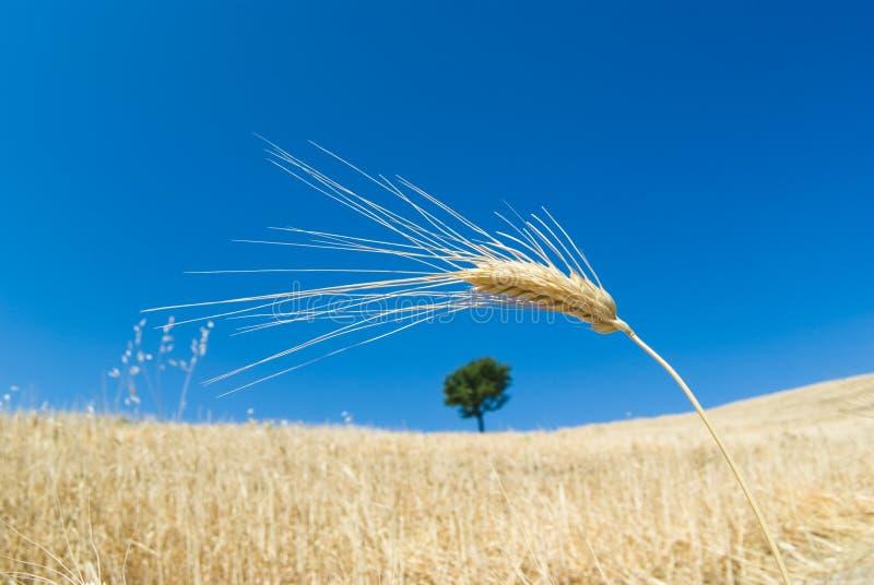 Orelha de milho e da árvore solitário fotografia de stock