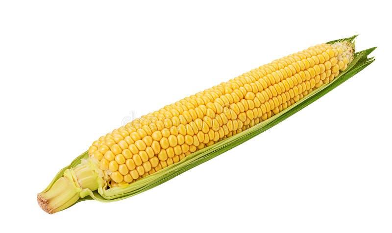 Orelha de milho Espiga de milho fresca fotografia de stock royalty free