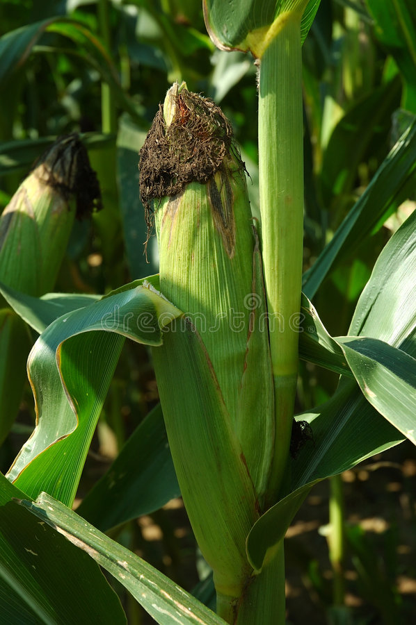 Orelha de milho na haste foto de stock