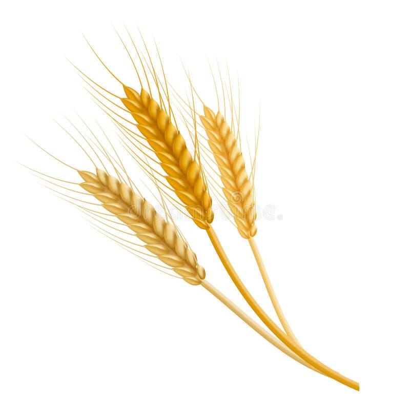 Orelha detalhada realística do trigo da cor Vetor ilustração do vetor