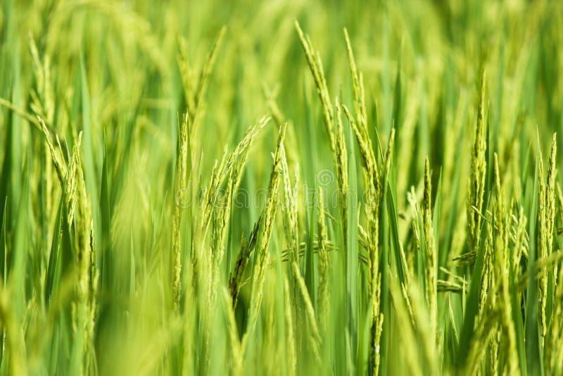 Orelha do arroz com foco macio do campo de almofada verde no backgrou fotografia de stock