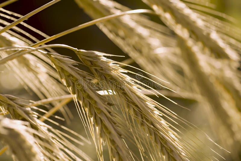 Orelha do trigo fotografia de stock