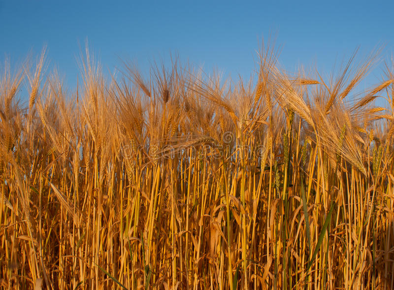 Orelha do trigo de encontro ao céu imagens de stock royalty free