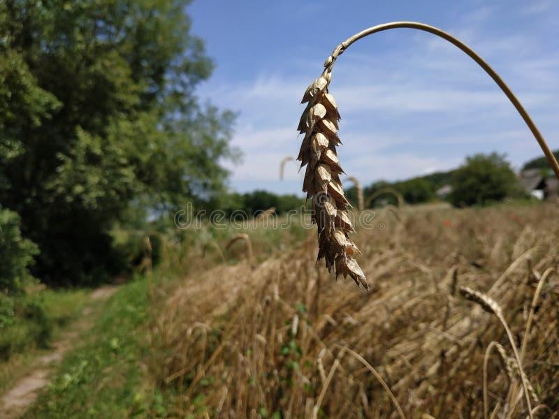 Orelha do triticum do campo de trigo/trigo no foco seletivo de céu azul fotos de stock royalty free