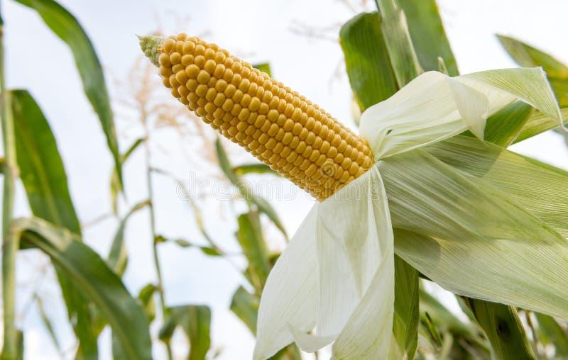 Orelha doce do milho que cresce em um campo antes de colher imagens de stock