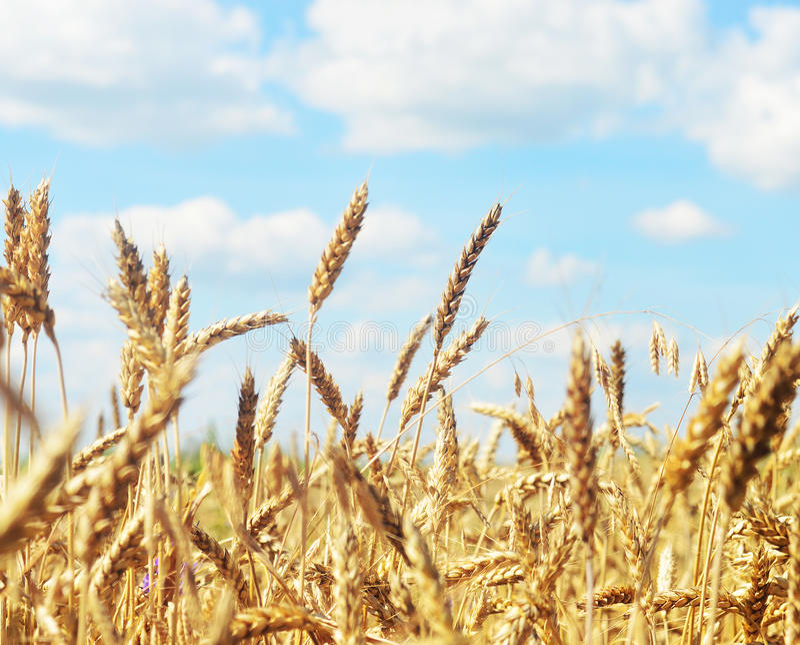 Orelha dourada do trigo fotografia de stock