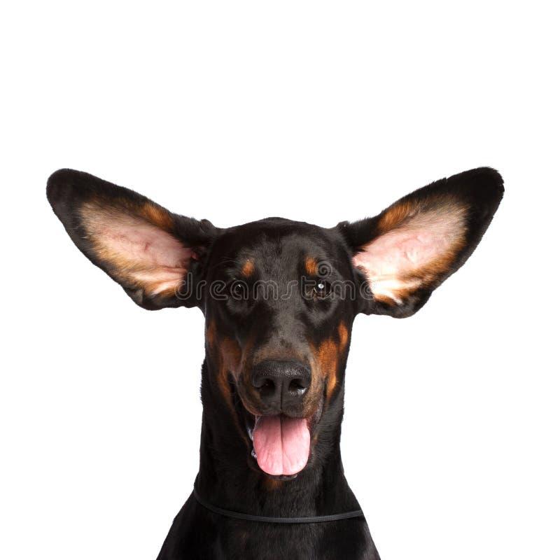 Orelhas bonitos do cão do dobermann fotos de stock royalty free