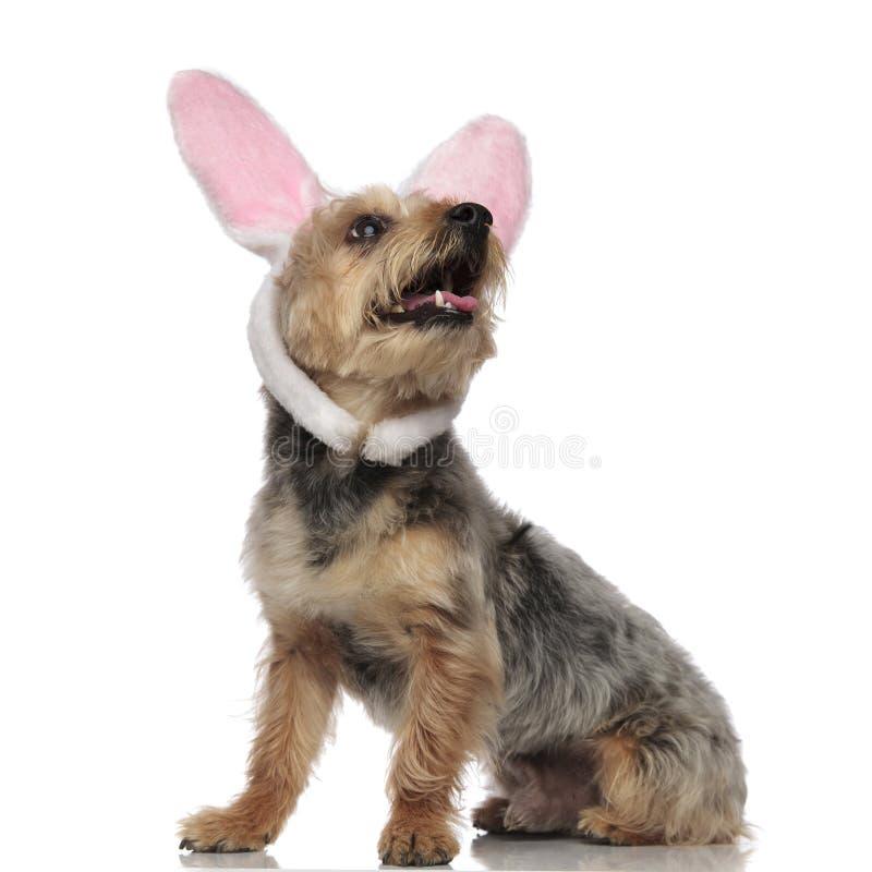 Orelhas de assento e vestindo do yorkshire terrier de coelho imagem de stock royalty free