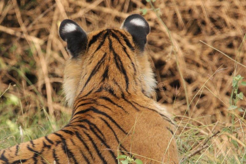 Orelhas de Bengal Tiger Cub foto de stock