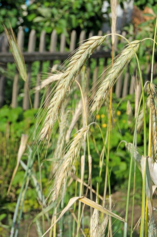 Orelhas de milho em um dia ensolarado imagens de stock