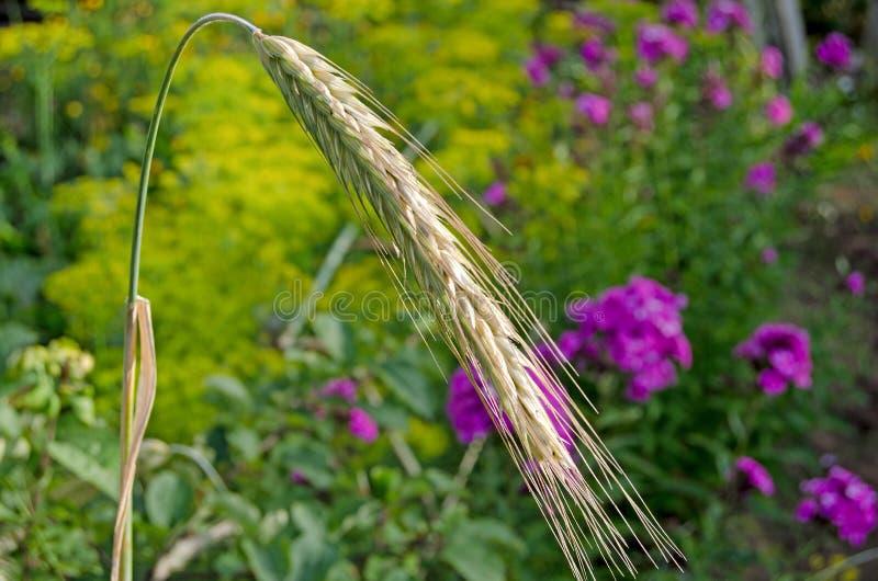 Orelhas de milho em um dia ensolarado imagens de stock royalty free