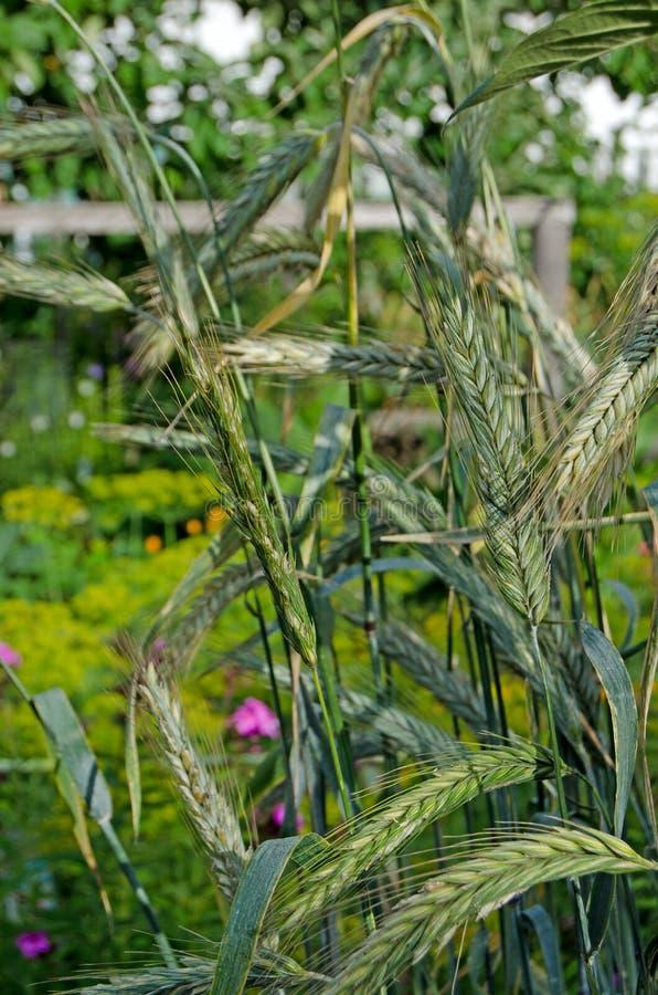 Orelhas de milho em um dia ensolarado foto de stock