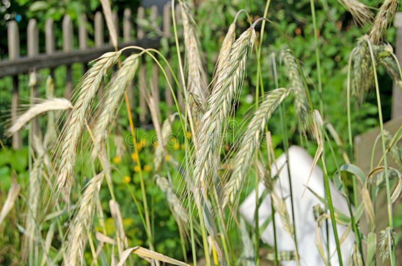 Orelhas de milho em um dia ensolarado imagem de stock