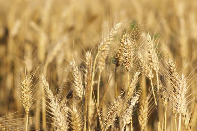 Download Orelhas De Milho Maduras No Campo Do Verão Imagem de Stock - Imagem de dourado, candid: 10062599