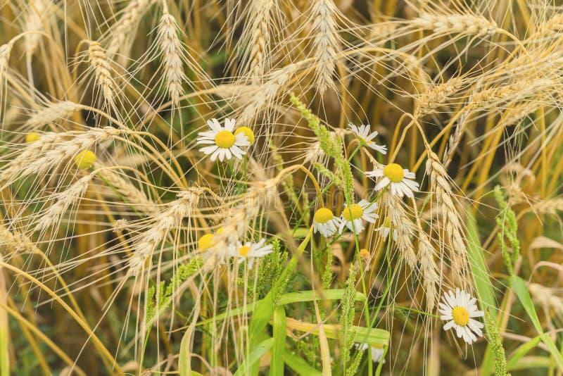 Orelhas de Rire dos cereais e de margaridas selvagens no meio-dia quente do verão na exploração agrícola Fundo rural imagens de stock royalty free