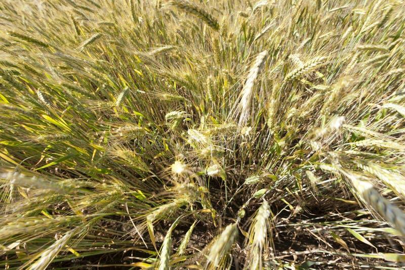 Orelhas de Rye imagem de stock royalty free