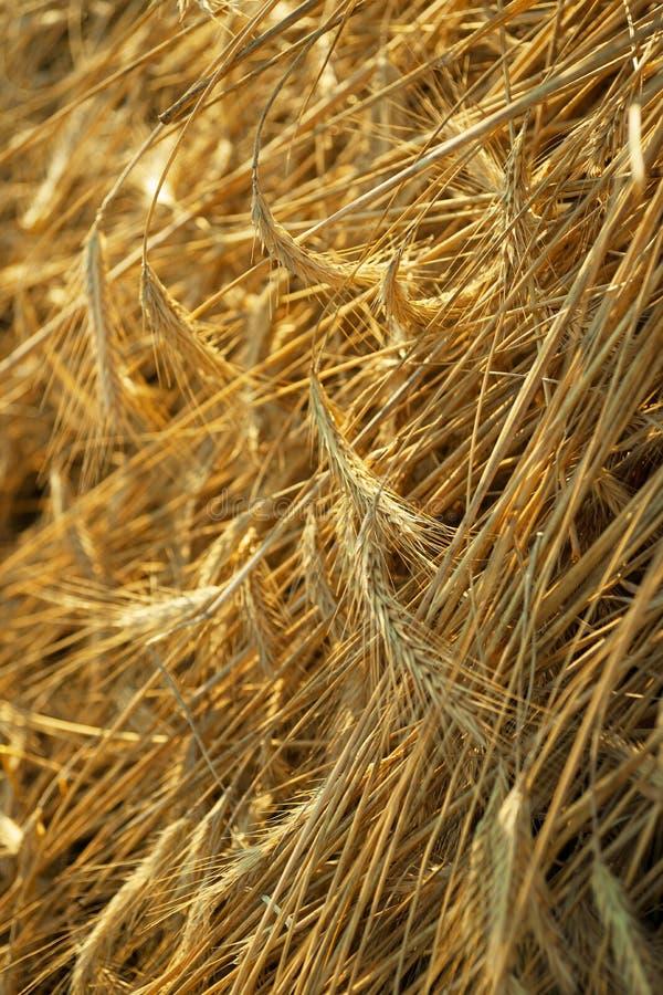 Orelhas de Rye fotos de stock