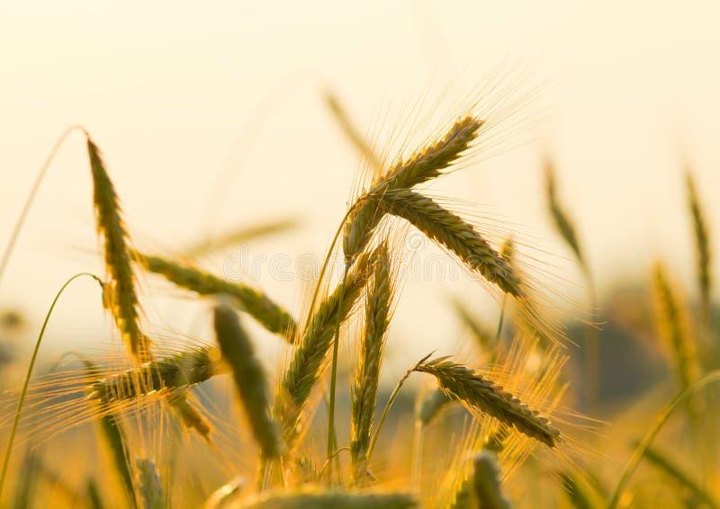 Orelhas do centeio no por do sol fotografia de stock