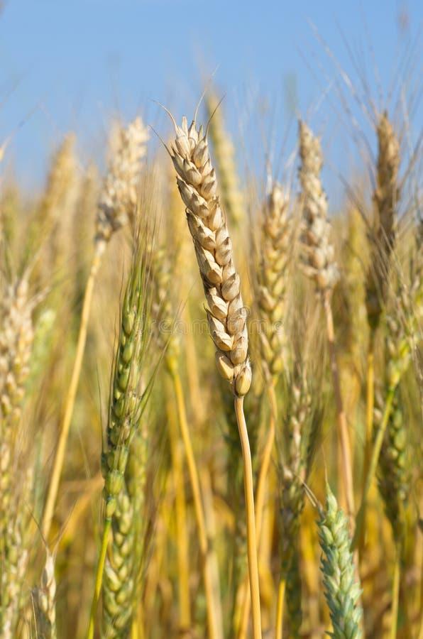 Orelhas do close up do trigo imagem de stock