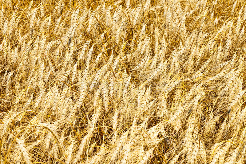 Download Orelhas do ouro do trigo foto de stock. Imagem de ouro - 16851638