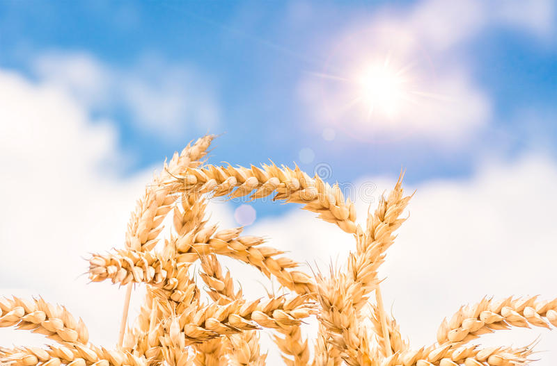 Orelhas do ouro do trigo contra o céu azul imagem de stock royalty free