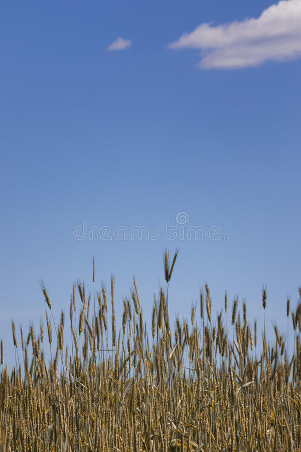 Orelhas do ouro do trigo contra o céu azul e as nuvens foco macio, close up, fundo da agricultura foto de stock