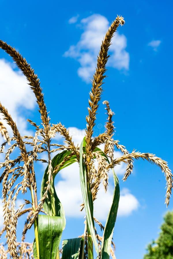 Orelhas do ouro do trigo contra o céu azul e o close up das nuvens fotos de stock royalty free