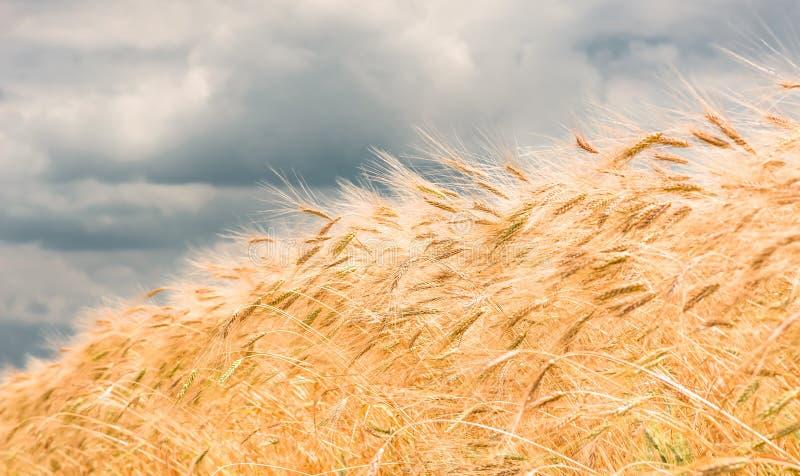 Orelhas do ouro do trigo em um campo, agricultura fotos de stock