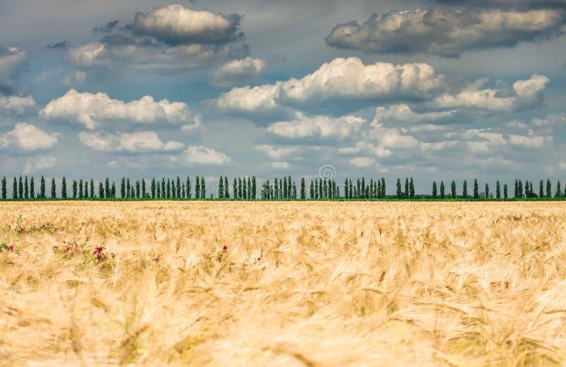 Orelhas do ouro do trigo em um campo, agricultura foto de stock