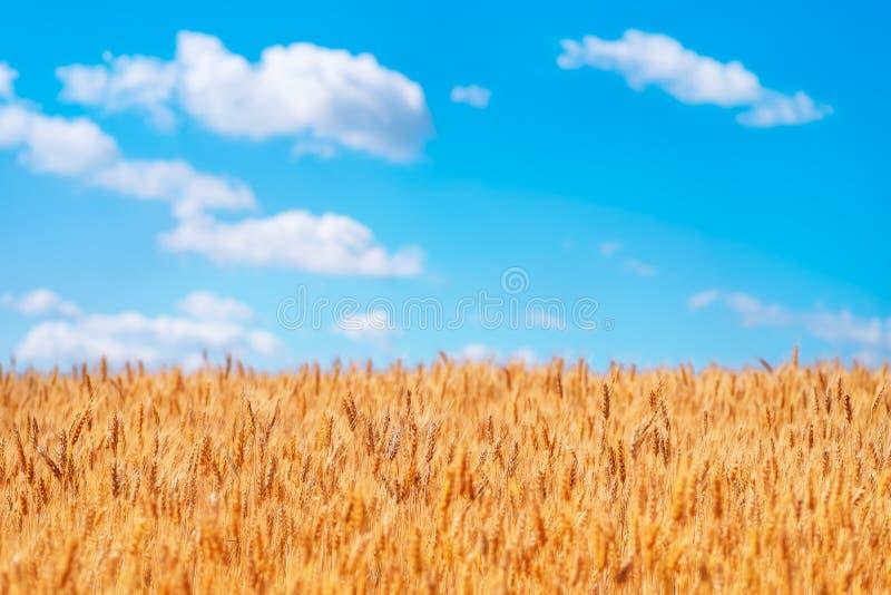 Orelhas do ouro do trigo contra o céu azul fotografia de stock royalty free